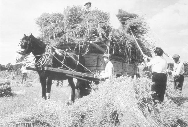 Oat Harvest, 1954, in a field where the Portway Industrial Estate stands. Picture from the John Marchment collection