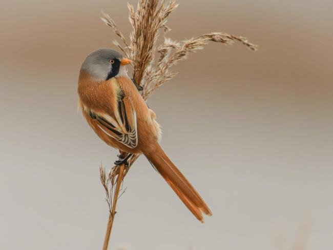 Daniel Lowth won after submitting this photo of a bearded tit