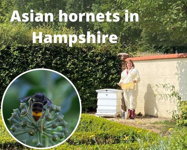 Asian hornets with stings three times the strength of a wasp near Basingstoke