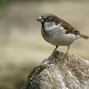Since 1966, the house sparrow population in Britain has halved from 20 million to 10 million
