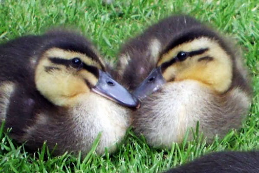 Help save ducklings