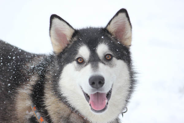 A rescue husky dog in the snow at Blue Cross animal centre in Southampton.