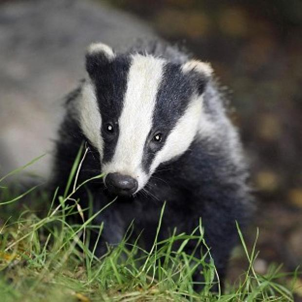 Andover Advertiser: Policing costs for the badger cull were way over the estimate