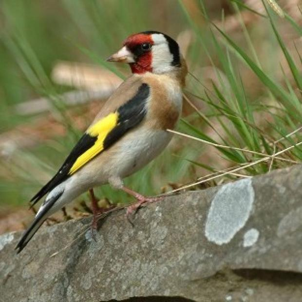 Andover Advertiser: Goldfinches are among many birds common in UK gardens.