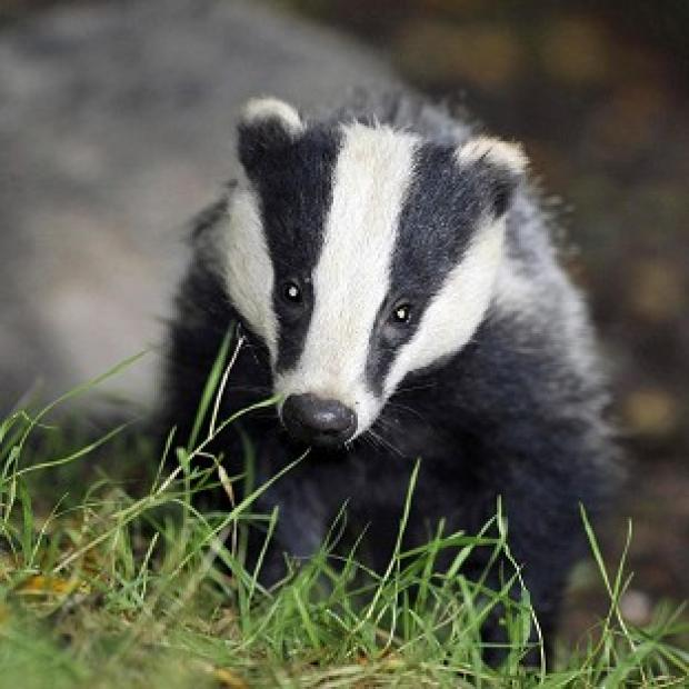 Andover Advertiser: Pilot badger culls in Somerset and Gloucestershire caused suffering to the animals, an expert panel has found