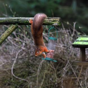 Andover Advertiser: A Red Squirrel tries to take some nuts from a bird feeder in Kielder Forest, Northumberland