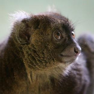 A critically endangered greater bamboo lemur, being helped in Madagascar by UK charity the Aspinall Foundation