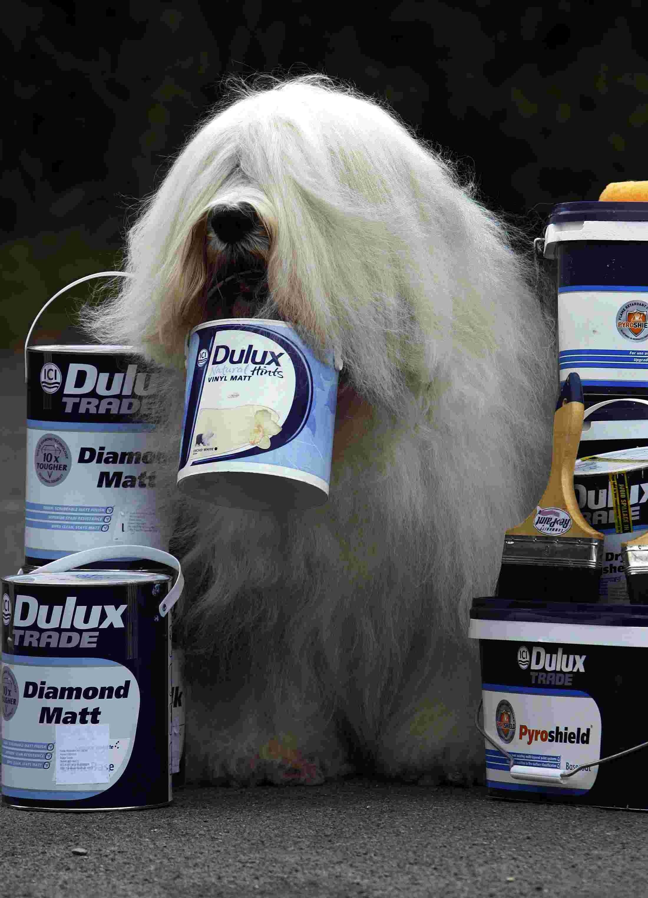 The Dulux dog will be at Wickes Basingstoke this Wednesday