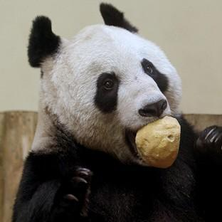 Edinburgh Zoo says the latest scientific data suggests Tian Tian the giant panda is now pregnant