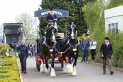 Wadworth Brewery's shire horses, Max and Monty, at Sparsholt College