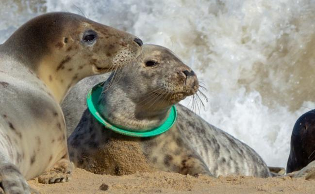 A seal with a frisbee round its neck